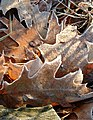Frosted leaves.jpg