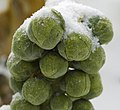 Frozen Sprouts - geograph.org.uk - 1630805.jpg