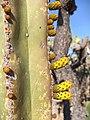 Frutos de cactus órgano (Pachycereus marginatus).jpg
