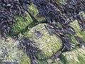 Fucus vesiculosus - UK 4.jpg
