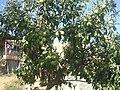 Gürsel'in Bahçe - panoramio.jpg