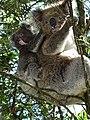 GOR Koala.jpg