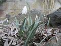 Galanthus nivalis rock garden 1.jpg