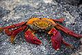 Galapagos Crab.jpg