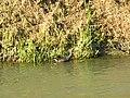 Gallinella d'acqua (Gallinula chloropus) nell'Adigetto alle porte di Rovigo 01.jpg