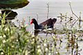 Gallinula galeata Common Gallinule Florida 1500px.jpg