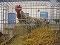 Gallo andaluz franciscano.jpg