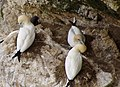 Gannets on Bempton Cliffs - geograph.org.uk - 1207557.jpg