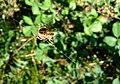 Garden spider (Araneus diadematus) - geograph.org.uk - 966342.jpg