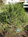 Gardenology.org-IMG 2762 ucla09.jpg