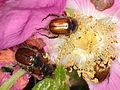 Gartenlaubkäfer (Scarabaeidae) (9542522559).jpg