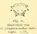 Gasteracantha interrupta Friedrich Dahl 1914.png