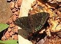 Gaudy Baron Euthalia lubentina male by Raju Kasambe DSCN3130 (6).jpg
