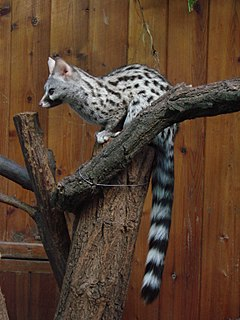 Common genet species of mammal