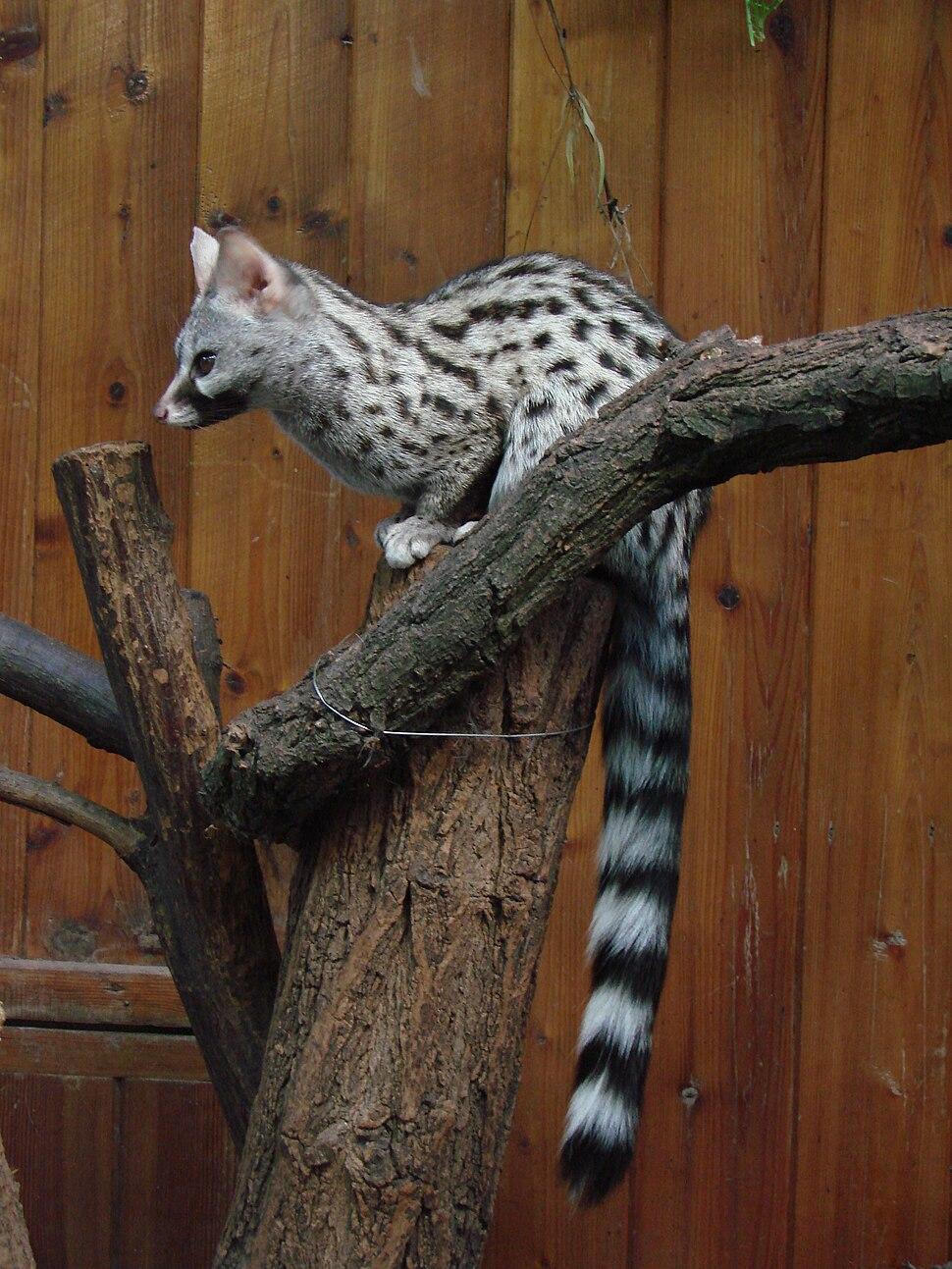 Genetta genetta felina (Wroclaw zoo)
