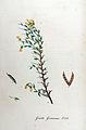 Genista germanica — Flora Batava — Volume v11.jpg