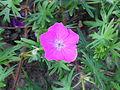 Geranium sanguineum 04.JPG