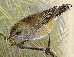 Grey warbler - Image: Gerygone 1888
