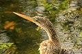 Gfp-anhinga-bird.jpg