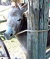Gillman Ranch, Burros 5-2012 (7414684864).jpg