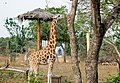 Giraffe at vandalur zoo 1.jpg