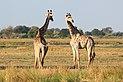 Giraffes in Chobe National Park 04.jpg