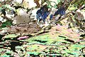 Glaucophane schist ss 0,5 xp 2007.jpg