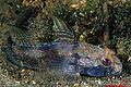 Gobius niger (Stefano Guerrieri).jpg