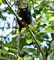 Golden-handed Tamarin (Saguinus midas) (26318414938).jpg