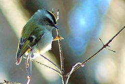 Golden crowned kinglet 6122.jpg