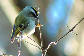 Gleaning (birds) - Golden-crowned kinglet (Regulus satrapa) gleaning from twigs.