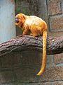Golden lion tamarin Sorocaba.JPG