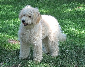 English: 8-month old female F1B Goldendoodle