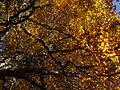 Goldenwood.jpg