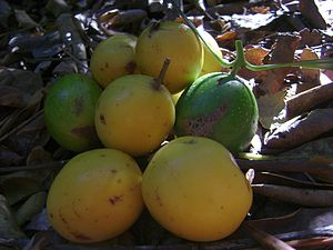 Gomortega keule fruits 001.jpg