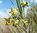 Gomphocarpus fruticosus subsp fruticosus, bloeiwyse, Phalandingwe, a.jpg