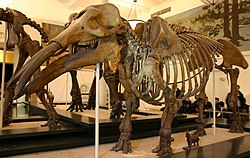 meaning of gomphotherium