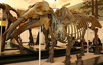 Gomphotherium - Specimen of Gomphotherium productum at the AMNH