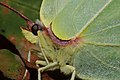 Gonepteryx rhamni (36872112185).jpg