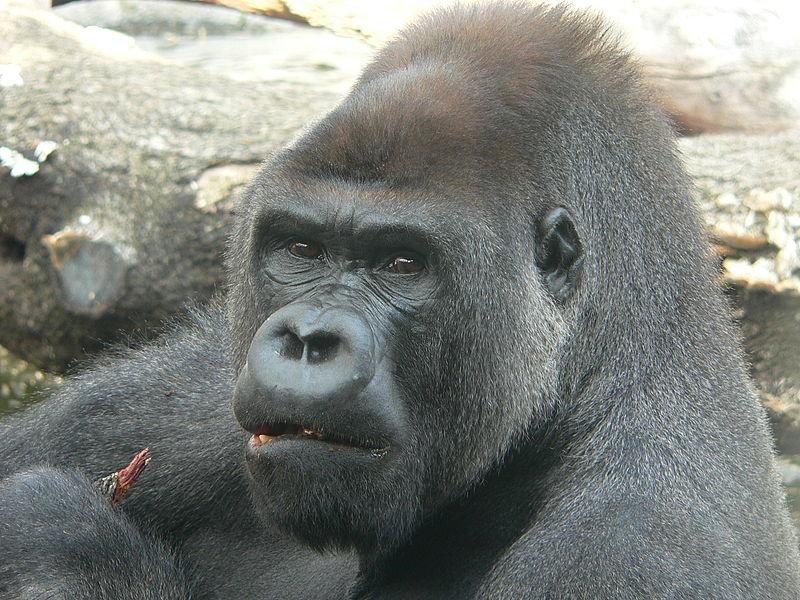 http://upload.wikimedia.org/wikipedia/commons/thumb/6/63/Gorila.JPG/800px-Gorila.JPG