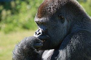 Port Lympne Wild Animal Park - Gorilla at Port Lympne Reserve