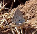 Gram Blue. Male. Euchrysops cnejus. Lycaenidae - Flickr - gailhampshire (1).jpg