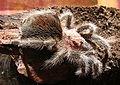 Grammostola rosea subadult 2.jpg