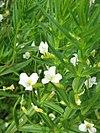 Gratiola officinalis02
