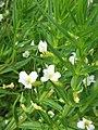 Gratiola officinalis02.jpg