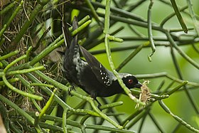 Gray-headed Negrofinch - Kibale NP - Uganda H8O5163 (22595342769).jpg