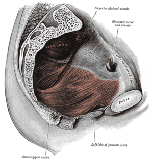 Pelvic floor - Left Levator ani from within.