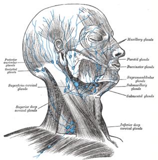 Superior deep cervical lymph nodes