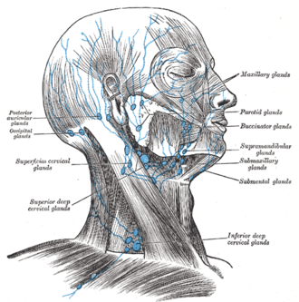 Occipital lymph nodes - Superficial lymph glands and lymphatic vessels of head and neck. (Occipital glands labeled at center left.)