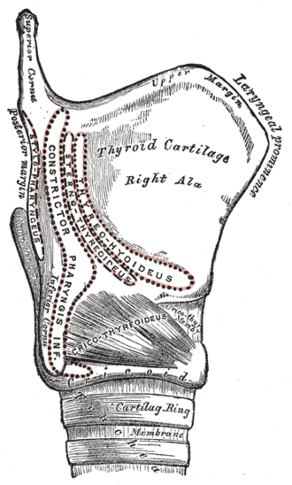 Cricothyroid muscle - Image: Gray 957